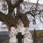 Наместник Лавры поддержал предложение Киевского эколого-культурного центра сохранить липу прп. Феодосия Печерского