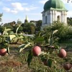 В лаврском саду завершен сбор поздних сортов яблок